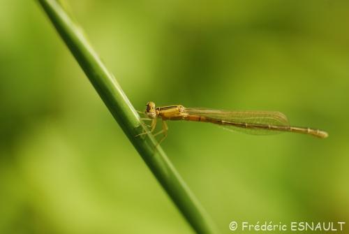 Ischnure nain (Ischnura pumilio)