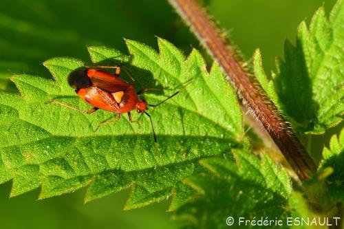 Miride rouge (Deraeocoris ruber)