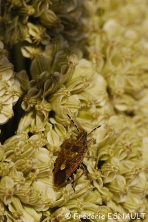 Punaise des baies (Dolycoris baccarum)
