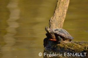 Reptiles du Site classé de la vallée de La Brosse et de La Gondoire