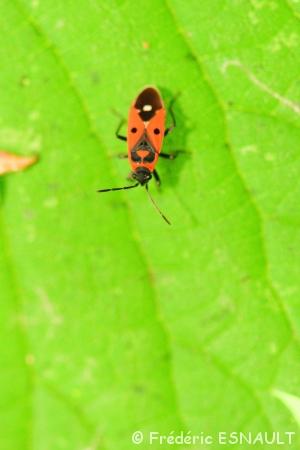 Faux-Gendarme (Melanocoryphus albomaculatus)