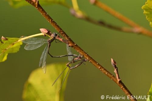 Leste vert (Lestes viridis)