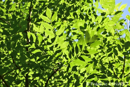 Nouveauté : Frêne commun (Fraxinus excelsior)