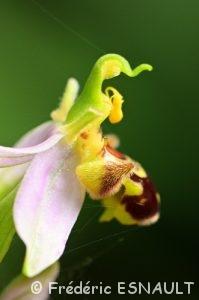 Orchidées du Site classé de la vallée de La Brosse et de La Gondoire