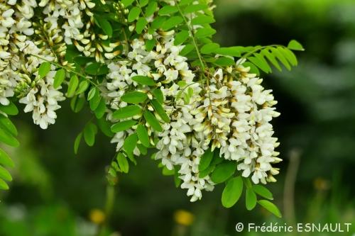 Acacia (Robinia pseudoacacia)