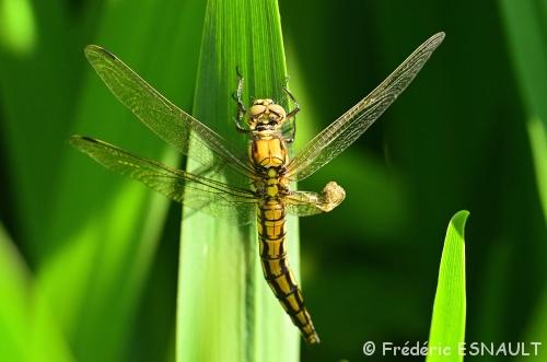 Problème d'émergence pour la libellule Orthétrum réticulé