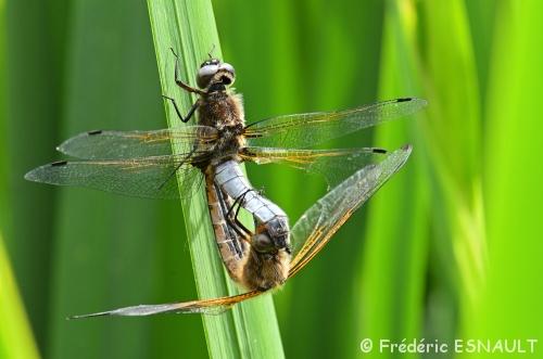 Les libellules fauves ne sont plus immatures