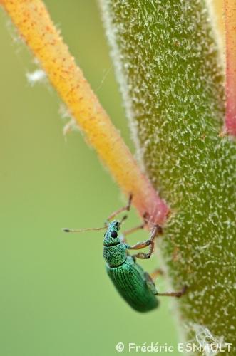 Nouveauté : Charançon vert soyeux (Polydrusus formosus)