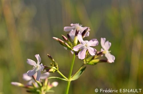 La Saponaire officinale (Saponaria officinalis)