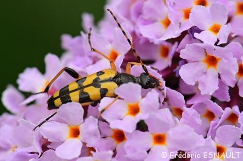 Nouveauté : Lepture tacheté (Rutpela maculata)