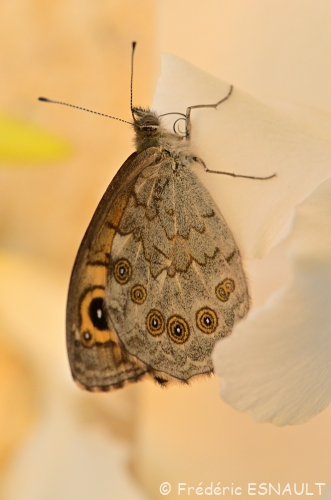 Nouveauté : Némusien ou Ariane (Lasiommata maera)