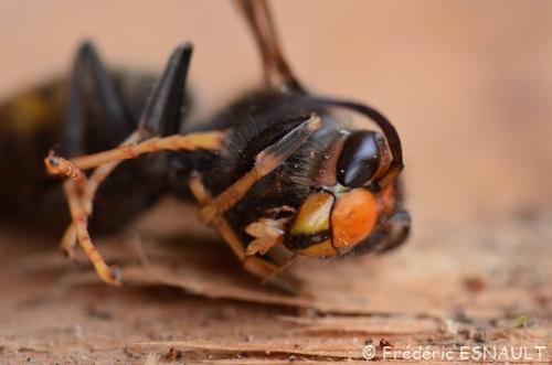 Frelon asiatique (Vespa velutina nigrithorax)