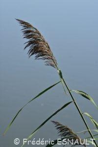 Roseau ou Roseau commun ou Roseau à balais (Phragmites australis)