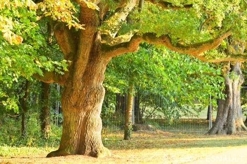Nouveauté : Chêne pédonculé (Quercus robur)