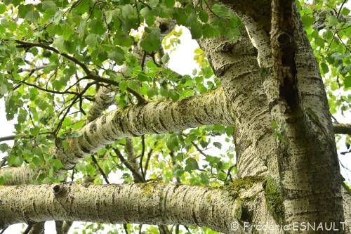 Nouveauté : Peuplier blanc (Populus alba)
