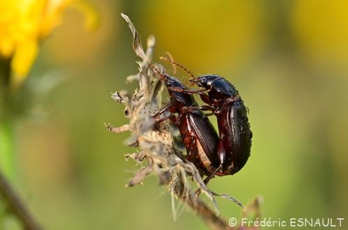 Petit Coléoptères en reproduction