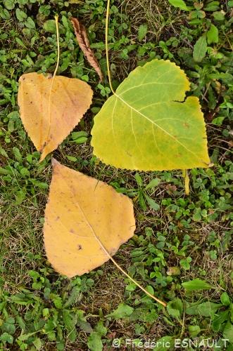 Nouveauté : Peuplier du Canada (Populus x canadensis)