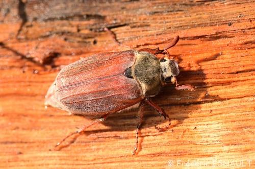 Nouveauté : Hanneton commun (Melolontha melolantha)