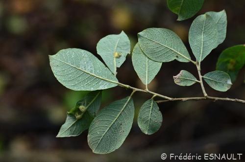 Nouveauté : Saule marsault (Salix caprea)