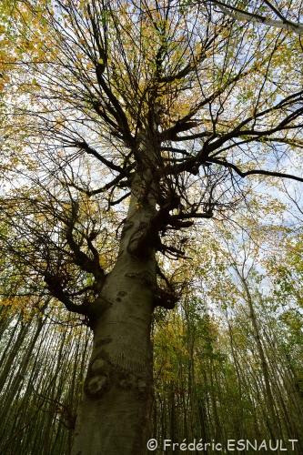 Nouveauté : Hêtre commun (Fagus sylvatica)