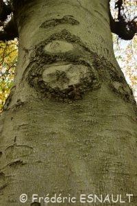 Hêtre commun (Fagus sylvatica)