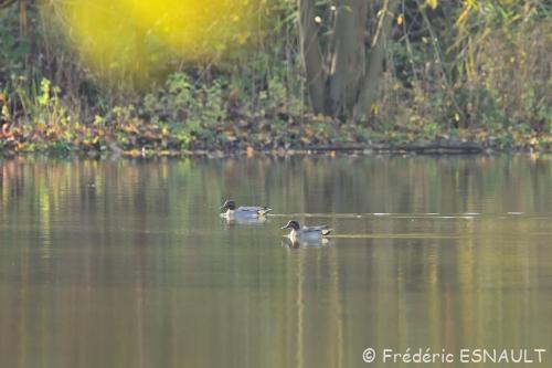Canards d'hiver sur l'étang de la Loy