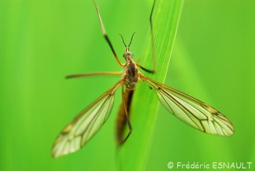 Tipule printanière (Tipula vernalis)