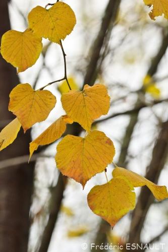 Nouveauté : Tilleul des Bois (Tilia Cordata)