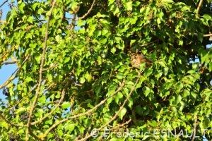 Grive mauvis (Turdus iliacus)