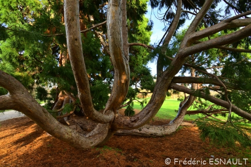 Le Séquoia géant du Parc du château de Rentilly