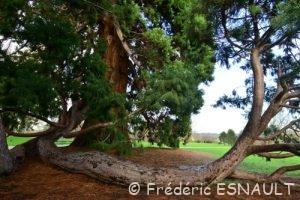 Séquoia géant (Sequoiadendron giganteum)