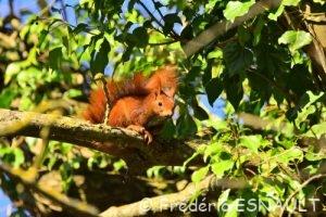 Écureuil d'Eurasie ou Écureuil roux (Sciurus vulgaris)