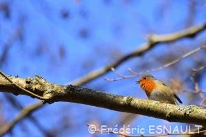 Rouge-gorge familier (Erithacus rubecula)