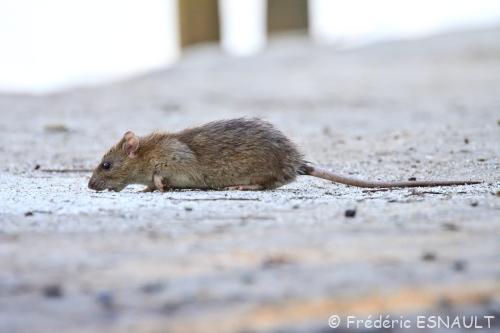 Rat brun (Rattus norvegicus)