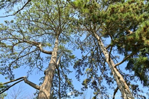 Nouveauté : Pin Laricio (Pinus nigra subsp. laricio)