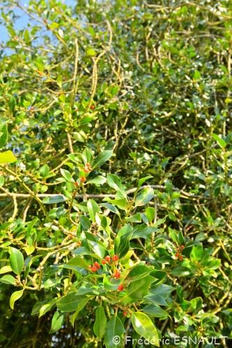 Nouveauté : Houx commun (Ilex aquifolium)
