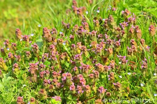 Nouveauté : Lamier pourpre (Lamium purpureum)