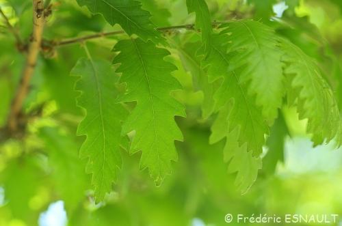 Nouveauté : Chêne chevelu (Quercus cerris)