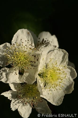 Nouveauté : Ronce des champs (Rubus caesius)