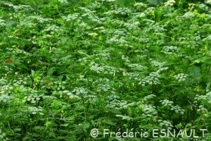 Cerfeuil penché (Chaerophyllum temulum)