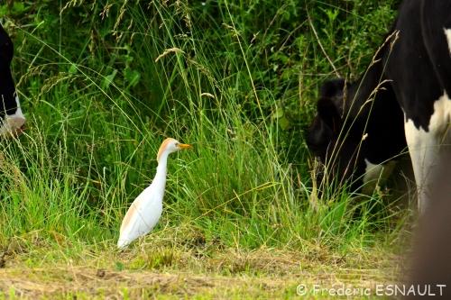Nouveauté : Héron garde-bœufs (Bubulcus ibis)
