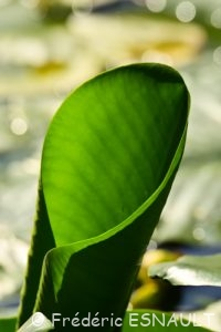 Nénuphar jaune (Nuphar lutea)