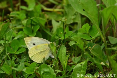 Nouveauté : Piéride de la rave (Pieris rapae)