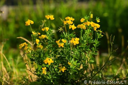 Nouveauté : Lotier corniculé (Lotus corniculatus)