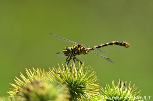Nouveauté : Onychogomphe à pinces (Onychogomphus forcipatus)