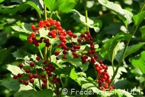 Viorne obier ou Viorne aquatique (Viburnum opulus)