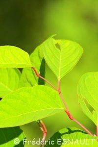 Raisin d'Amérique ou Teinturier (Phytolacca americana)
