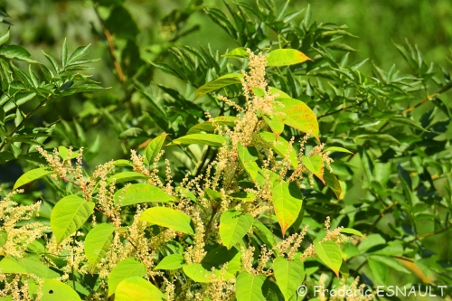 Nouveauté : Phytolaque américaine (Phytolacca americana)