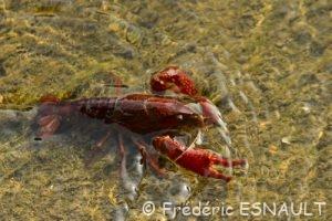 Écrevisse de Louisiane ou Écrevisse rouge des marais (Procambarus clarkii)