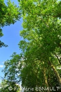 Platane commun ou Platane à feuilles d'érable (Platanus × hispanica)
